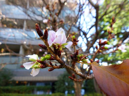 駒沢公園の寒桜